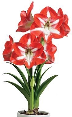 Everything you need to grow #sensational, prize-winning #Amaryllis in a beautiful #gift box topped with silk Amaryllis #flowers! This all-in one kit contains an enormous, top-grade bulb from #Holland, growing material, a plastic grow pot with saucer, and instructions. Featured on #Oprah's #Favorite Things.  #MenusAndMusic  https://www.menusandmusic.com/amaryllis_gift_set_p/14h-0901.htm