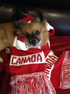 Gabby in her Canada scarf Canada, In This Moment, Dogs, Sports, Animals, Hs Sports, Animales, Animaux, Pet Dogs