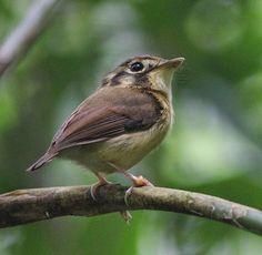 White-throated Spadebill Birdernaturalist