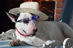The Blues ain't nothin' but a good dog feelin' bad. Best Dog Breeds, Best Dogs, Photo Animaliere, Bully Dog, English Bull Terriers, Pit Bulls, Dog Stuff, Doggies, Dog Cat