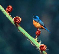 mosquiteiro azul=pássaros de taiwan fotografados por john e fish