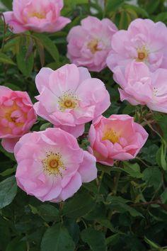 'The Lady's Blush' | David Austin English Rose
