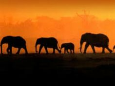 Afrika>safari>wilde dieren>olifanten