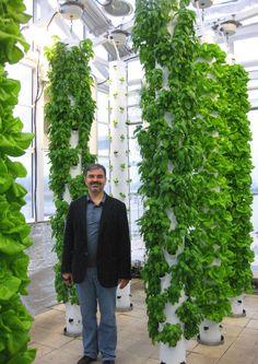 3 Week Old Bib Lettuce Grown in the Tower Garden! http://ilovetowergarden.com/