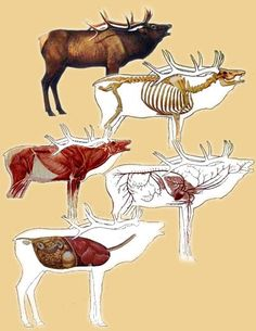 Shot placement on an elk