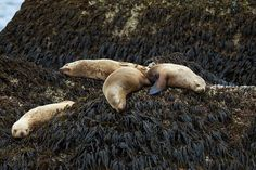 Sleeping Sea Lions - Kenai Fjords National Park