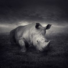 What a hauntingly beautiful picture of a rhinoceros.  The original site is in a central European language I can't read, but it appears the artist specializes in these Photoshopped high contrast black and white images.