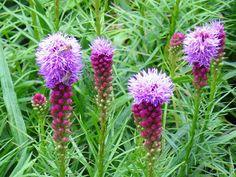 Kwiaty ogrodowe wieloletnie - liatra kłosowa Geraniums, Diy And Crafts, Landscape, Flowers, Gardening, Lawn And Garden, Scenery, Royal Icing Flowers, Flower