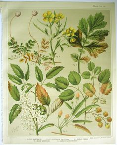 Sarah Featon, Rubus Australis ... Sara FEATON  Hand-coloured engravings from The Art Album of New Zealand Flora, 1889. It contained descriptions of the native flowering plants of New Zealand and the adjacent islands.