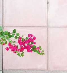 I can't help but stop and snap a shot when I see a bougainvillea branch making its way to the pavement. They are literally blooming everywhere