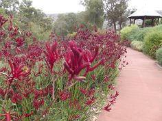 Red Kangaroo Paw Kings Park Perth Western Australia