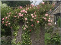 They have planted roses in an old tree stump! Cool! I will do this in my garden