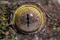 Mossy leaf-tailed gecko (Uroplatus sikorae) are limited in how they can alter the pattern...