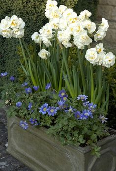 Narcissus & anemone: Sir Winston  Churchill- The most fragrant narcissus there is