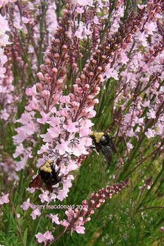 Linaria purpurea 'Canon J. Went', zone 5, 2-4 feet tall, short-lived perennial, self-seeds.