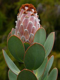 Protea speciosa native to South Africa ~ U. Botanical Gardens, Berkeley, CA Beautiful Flowers, Fynbos, Amazing Flowers, Shade Plants, Trees To Plant, Plants, Cacti And Succulents, Planting Flowers, Botanical Gardens