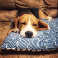 . . good night, sweet baby❤️ . . #ビーグル#beagle#男の子#生後5ヶ月#愛犬#犬バカ部#ビーグル部#スヌーピー#激かわ#癒し#おやすみ#gn