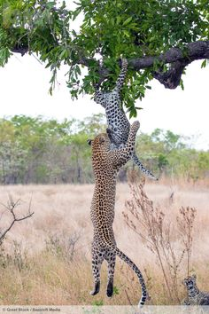 A leopard leaps to bring down her cub in South Africa's Sabi Sands Game Reserve…
