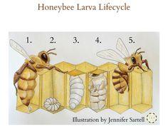 The Life Cycle of a Baby Bee Keeping Backyard Bees Bird Life Cycle, Honey Bee Life Cycle, Bee Rocks, Bee Activities, Sequencing Activities, Bee Art, Queen Bees, Life Cycles, Bee Keeping