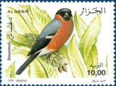 Eurasian Bullfinch (Pyrrhula pyrrhula)