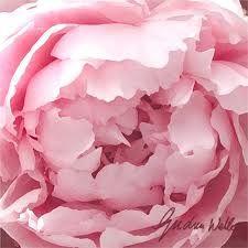 Pink Pioni - love