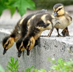 ducklings | ducklings | Birds