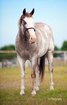 American Paint Horse mare Smokin Chic