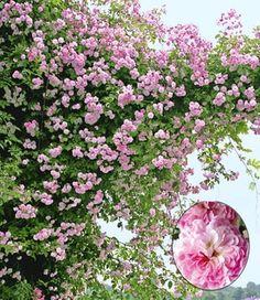 Rambler-Rose 'Paul's Himalayan Musk Rambler®'