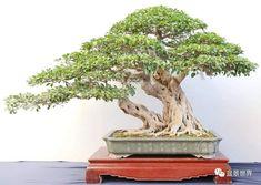 Bonsai Art, Twin, Success, Plants, Photography, Photograph, Fotografie, Photoshoot, Plant