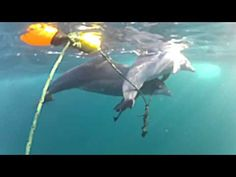 Desperate Dolphin Mom Seen Helping Her Trapped Baby Breathe