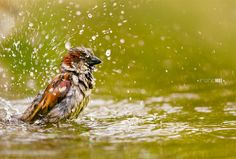 House sparrow bathing in summer