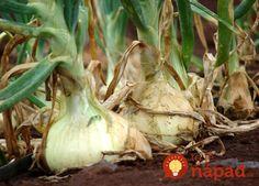 What makes the Maui Onion special besides its beautiful home? Who discovered the Maui Onion? Summer House Garden, Balcony Garden, Companion Planting, Farm Gardens, Urban Farming, Horticulture, Vegetable Garden, Allrecipes, Garlic