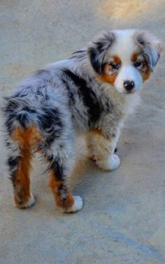 Australian shepherd puppy. Shortly after birth, the tail is cut off.