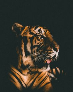 Endangered tiger forest sanctuary in Thailand where you could walk around with Tigers. Download this photo by Sacha Styles on Unsplash 3d Wallpaper Lion, Images Wallpaper, Wallpaper Free, Animal Wallpaper, Wallpapers, Tiger Wallpaper Iphone, 1080p Wallpaper, Tiger Images, Tiger Pictures