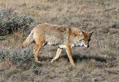coyote. three of these hanging around my house.