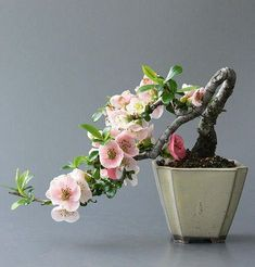Growing bonsai from their seeds is essentially growing a tree from its seed. Get tips and guidelines on how to grow your first bonsai from its seed phase. Ikebana, Mame Bonsai, Plantas Bonsai, Bonsai Plante, Apple Tree Blossoms, Cherry Blossoms, Bonsai Tree Types, Bonsai Trees, Bonsai Apple Tree