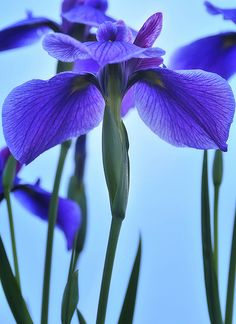 Iris..remembering mom..and dad who kept planting them for her..