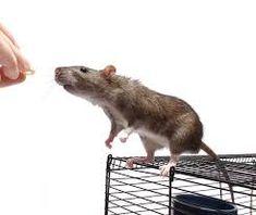 Résultats de recherche d'images pour «rat »