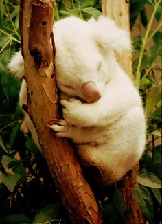 This sleeping bundle of koala. | 29 Breathtakingly Beautiful Albino Animals