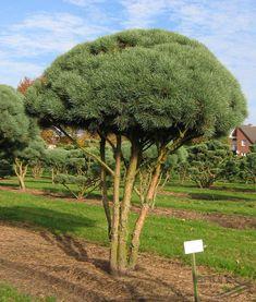 PINUS sylvestris 'Watereri' | Pflanzen | null | Bruns Site
