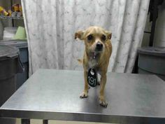 Houston~ BARBIE - ID#A414589 My name is BARBIE. I am a female, brown and white Chihuahua - Smooth Coated mix. My age is unknown. I have been at the shelter since Sep 04, 2014.