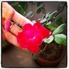 The beautiful rose! #rose #flower #redrose #naturephotography #colors