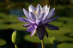 Lotus Care Sheet
