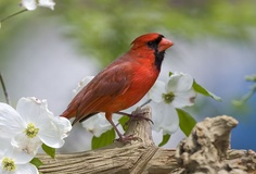 Close-up of a Cardinal bird in a Blooming Tree from Allposters. Find out how to attract these magnificent red American birds into your backyard. Discover what feeders and food to use. West Virginia State Bird, Ohio State Bird, Ohio Birds, State Birds, Birds Wallpaper Hd, Wallpaper Backgrounds, Animal Wallpaper, Desktop Wallpapers, Phone Backgrounds
