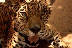 O destaque do Zoológico do Batalhão do Forte São Joaquim, em Boa Vista, é a jaula de uma onça em que o turista pode entrar para interagir com o animal, acompanhado de um funcionário do local MAIS Eduardo Vessoni/UOL