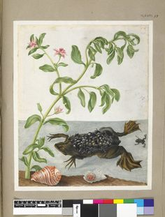 Example of a Surinam toad, with pink-flowered plant and two shells, from an album entitled 'Merian's Drawings of Surinam Insects c'; with hatchlings on its back Watercolour, with bodycolour, and with pen and black ink, on vellum. Drawn by: Maria Sibylla Merian. School/styleGerman. Date1701-1705 (circa).
