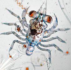 Crab larva inside salt water