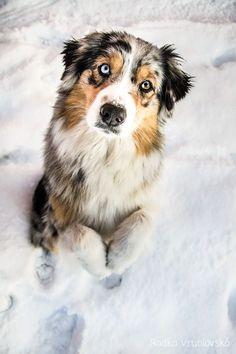 Ice Queen by aussiefoto on DeviantArt Australian Shepherds, Aussie Shepherd, Australian Shepherd Puppies, Aussie Puppies, Cute Baby Dogs, Cute Little Puppies, Cute Dogs And Puppies, Cute Baby Animals, Pet Dogs