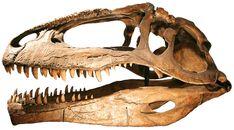 Giganotosaurus (the skull alone is 2m long!)