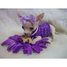 Cutie teacup chihuahua...- just TOO cute not to add to our pins....the purple is also a plus